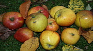 Frances's Windfall Apples